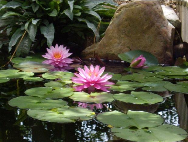 pond_gallery pond