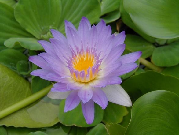 pond_gallery pond_plants